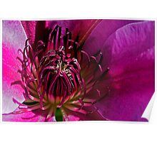 Pink-Purple Clematis Poster