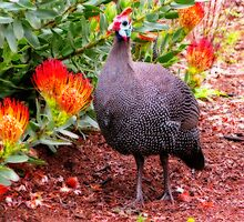 Guineafowl & Protea flowers, Kirstenbosch National Botanical Garden, Cape Town, South Africa by vadim19