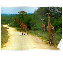 Giraffes, Kruger National Park, South Africa Poster