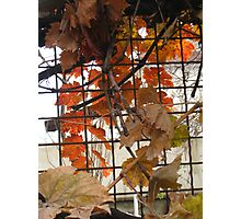 Grape Leaves in Fall Photographic Print