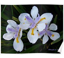 Three Irises Poster