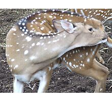 Itchy deer Photographic Print