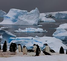 Gentoo Penguin Colony, Antarctic Peninsula by David Jamrozik
