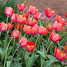 Pretty Red Tulips by Elaine Teague