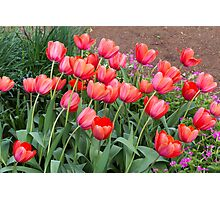 Pretty Red Tulips Photographic Print