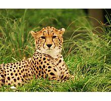 Cheetah Photographic Print
