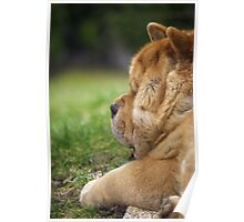 Chow-Chow dog portrait Poster
