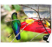 Sneaking Up On An Irazu Hummingbird Poster