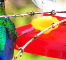 Sneaking Up On An Irazu Hummingbird Sticker