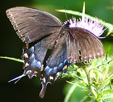 Great Purple Hairstreak Butterfly on a Thistle by Laurel Talabere