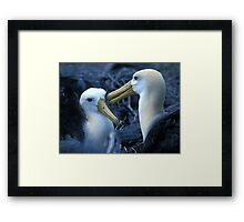 Albatros Pair on Galapagos Framed Print