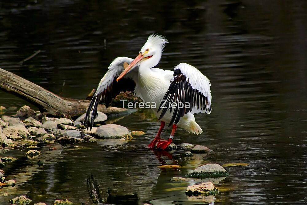 American White Pelican by Teresa Zieba