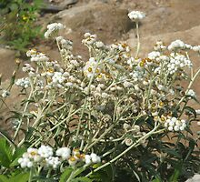 Pearly Everlasting by Edith Farrell