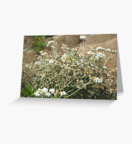 Pearly Everlasting Greeting Card