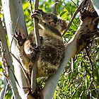 Koala - Aratula, Queensland by Jordan Miscamble
