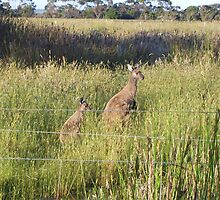 Kangaroos 2 by GuavaBeans