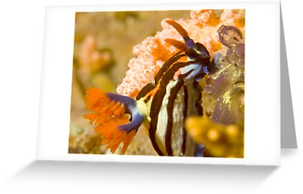 Nembrotha Purpureolineolate Nudibranch by Dan Sweeney