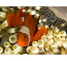 Clown Fish in Anemone Photographic Print