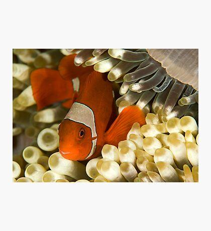 Clown Fish in Anemone Photographic Print