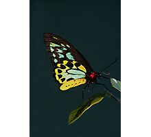 Birdwing Butterfly Photographic Print