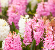 Hyacinthus blooming pink and white plants Sticker
