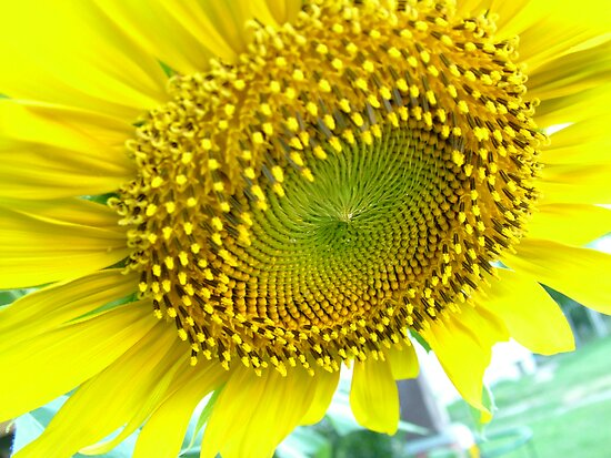 sunflower by michelle bergkamp