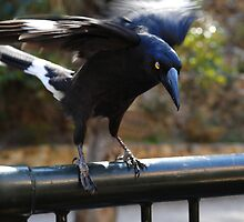 killer currawong by wildplaces