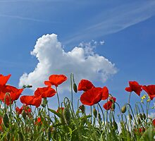 Poppies & cloud by Mark Thompson