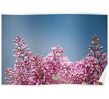 Lilac flowering bright pink inflorescence  Poster