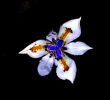 Midnight lily by sarah bragg