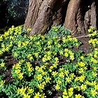 Winter Aconite  by hootonles