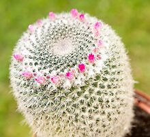 Cactus flowering pink detail by Arletta Cwalina