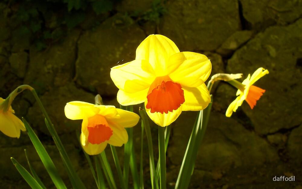 Bright daffodils ! by daffodil