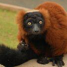 Red Ruffed Lemur Monkey by Franco De Luca Calce