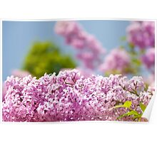 Lilac vibrant pink flowers Poster