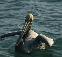 Pelican Afloat by Jim Roche