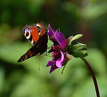 Butterfly and Flower by franceslewis