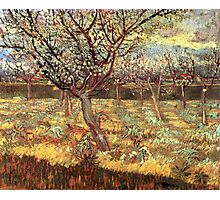 'Apricot Trees In Blossom' by Vincent Van Gogh (Reproduction) Photographic Print