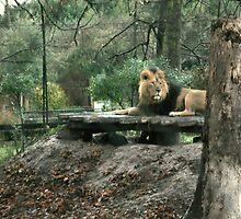 Lion by Franco De Luca Calce
