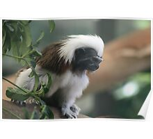 Cotton-Topped Tamarin Poster