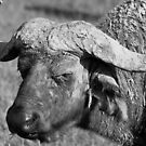Water Buffalo Portrait by Nickolay Stanev