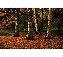 Birches Photographic Print