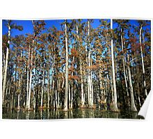 Magnificent Wall of Giant Cypress Poster