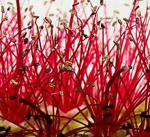 Pohutukawa Flower by Jenni77