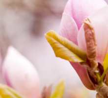 Bright Magnolia beauty flowering Sticker
