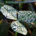 Dew on clover by becks78