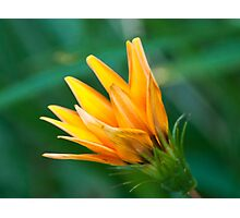 Fiery daisy Photographic Print