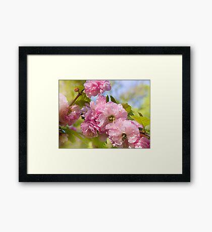 Almond blossoms pink flowering Framed Print