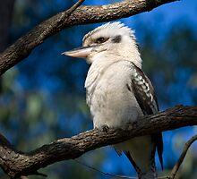 Kookaburra by Tony Steinberg