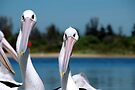 Pelicans by Leanne Robson